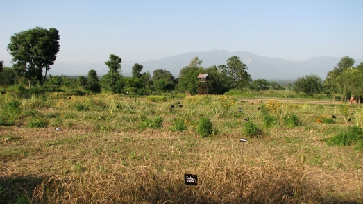 Rice fields at Navdanya Farm in Derha Duhn, India
