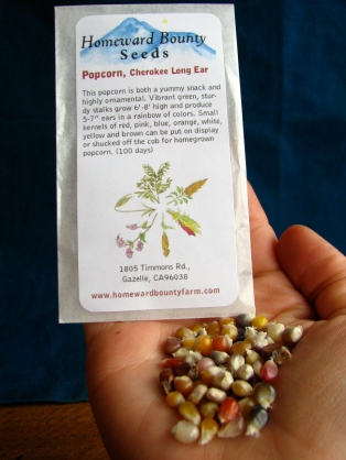 Cherokee Long Ear Popcorn -Homeward Bounty Seeds