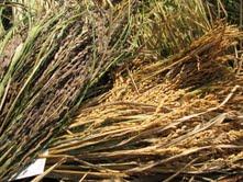 Three of the many varieties of rice at Navdanya Farm.
