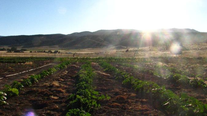 Homeward Bounty fields mid July
