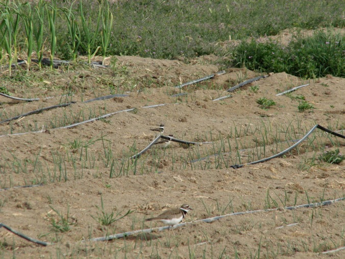 Killdeer chicks and Mama