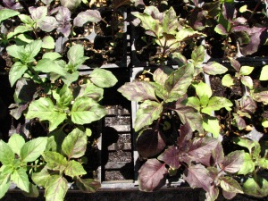 Purple basil when into the fields this week.