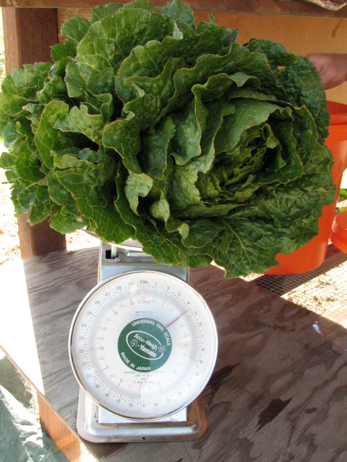 4 1/2 pound head of lettuce and still delicate and sweet!