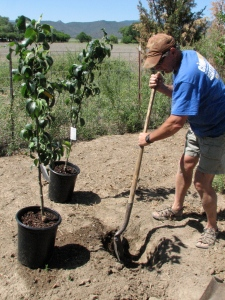 Putting in new fruit trees.
