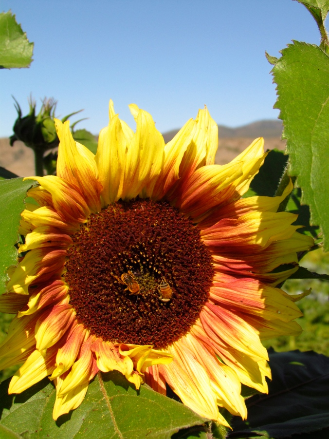 Amber Eye Sunflowers
