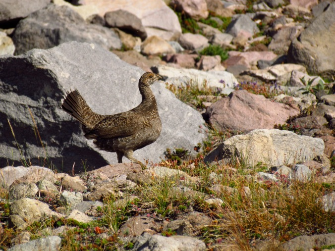A Blue Grouse at such high elevations, wow!
