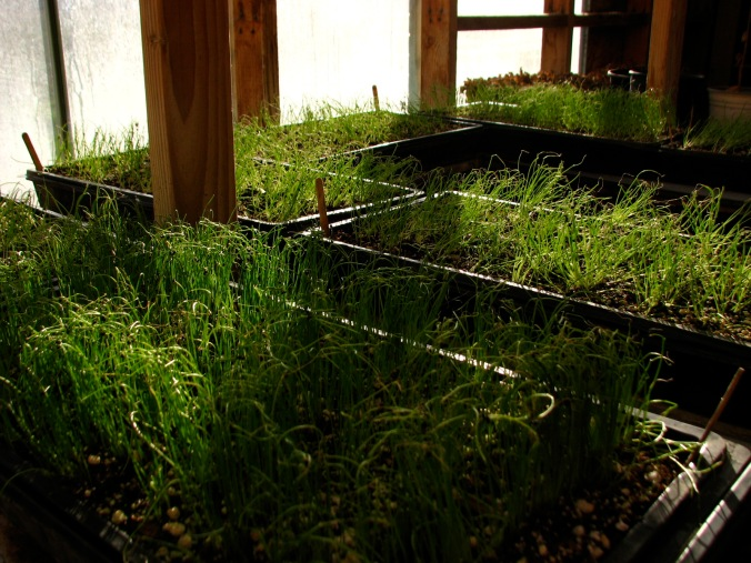 Onions growing in the greenhouse in January. The first stretches of green for the 2015 season.