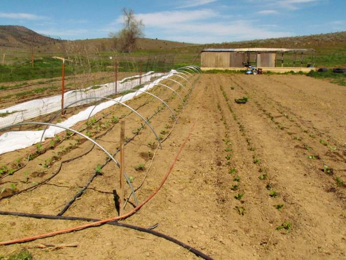 Chard, kale, cabbage, Broccoli, cauliflower get transplanted out on a warm sunny weekend of spring!