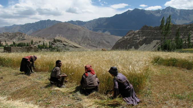 Community harvest of barley in Ladakh.