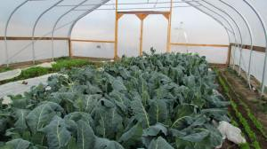 Brassicas growing happily.